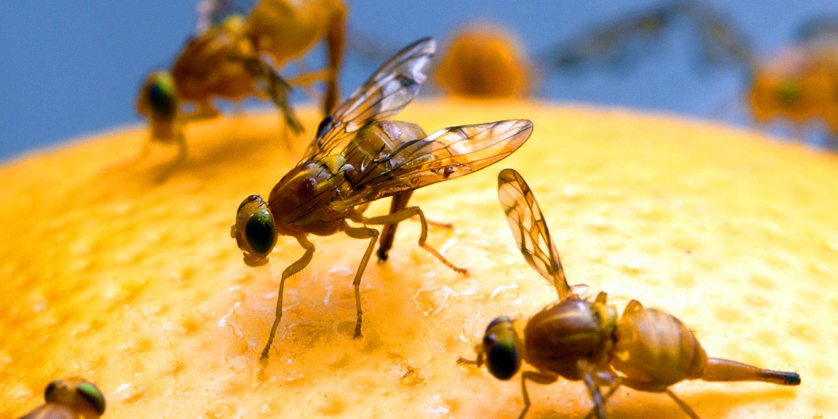 Wat te doen tegen fruitvliegjes - ecolgische en diervriendelijke, vegan oplossing